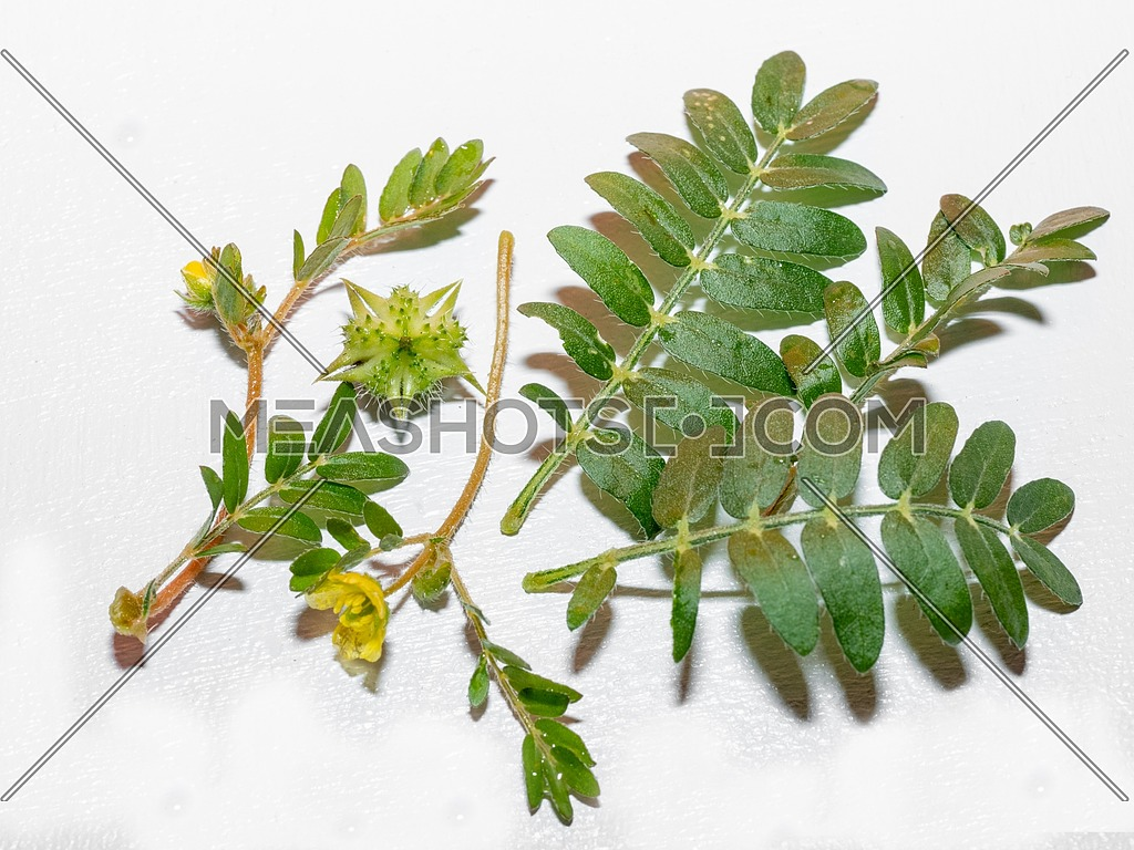Tribulus terrestris is an annual plant in the caltrop family (Zygophyllaceae) widely distributed around the world, that is adapted to grow in dry climate locations in which few other plants can survive