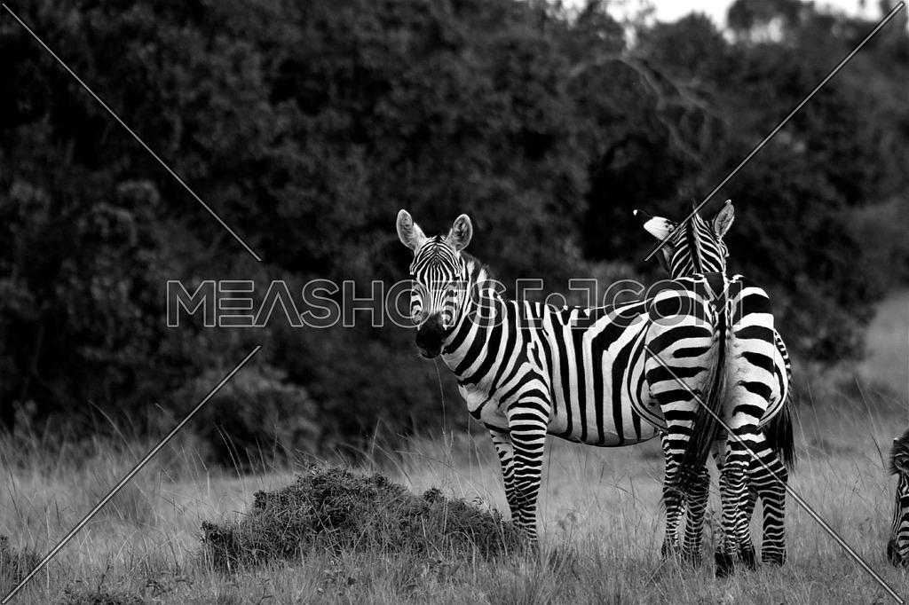 Zebra illusion