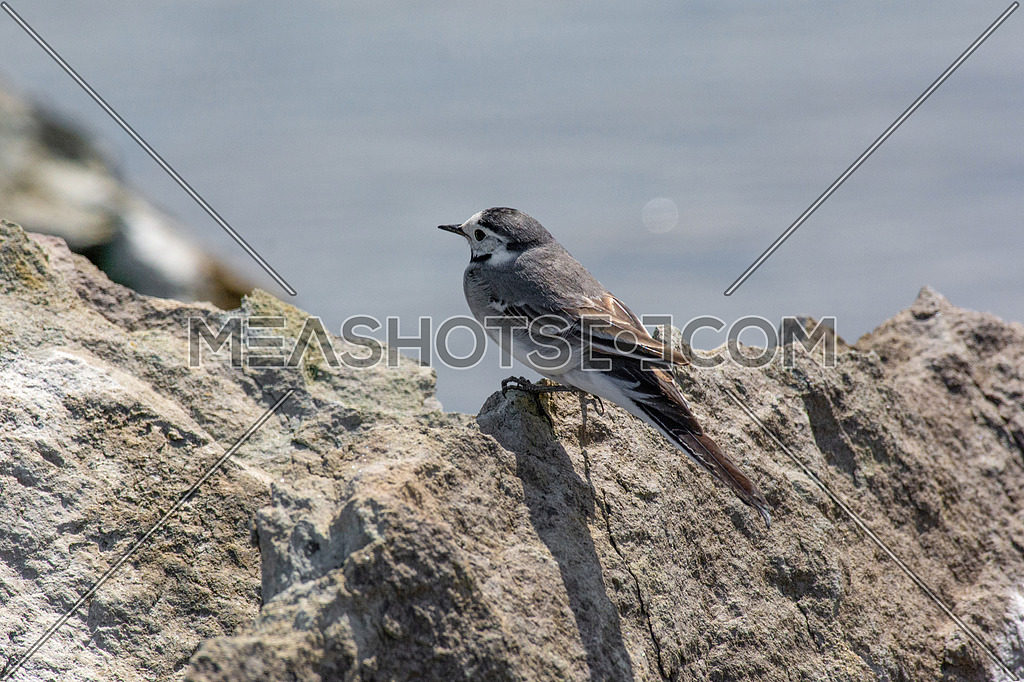 White wagtail (Motacilla alba) stands on the rock