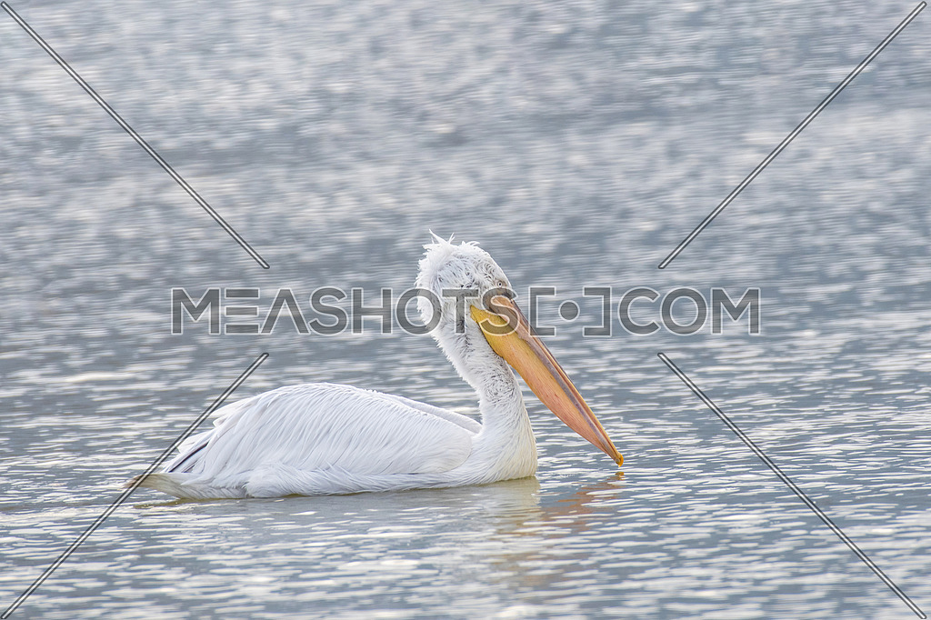 Close-up portrait of Dalmatian pelican (Pelecanus crispus). Large silvery-white bird with curly nape feathers and huge bill with orange pouch