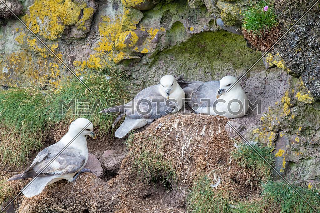 Nesting Fulmar (Fulmarus glacialis) Sea birds