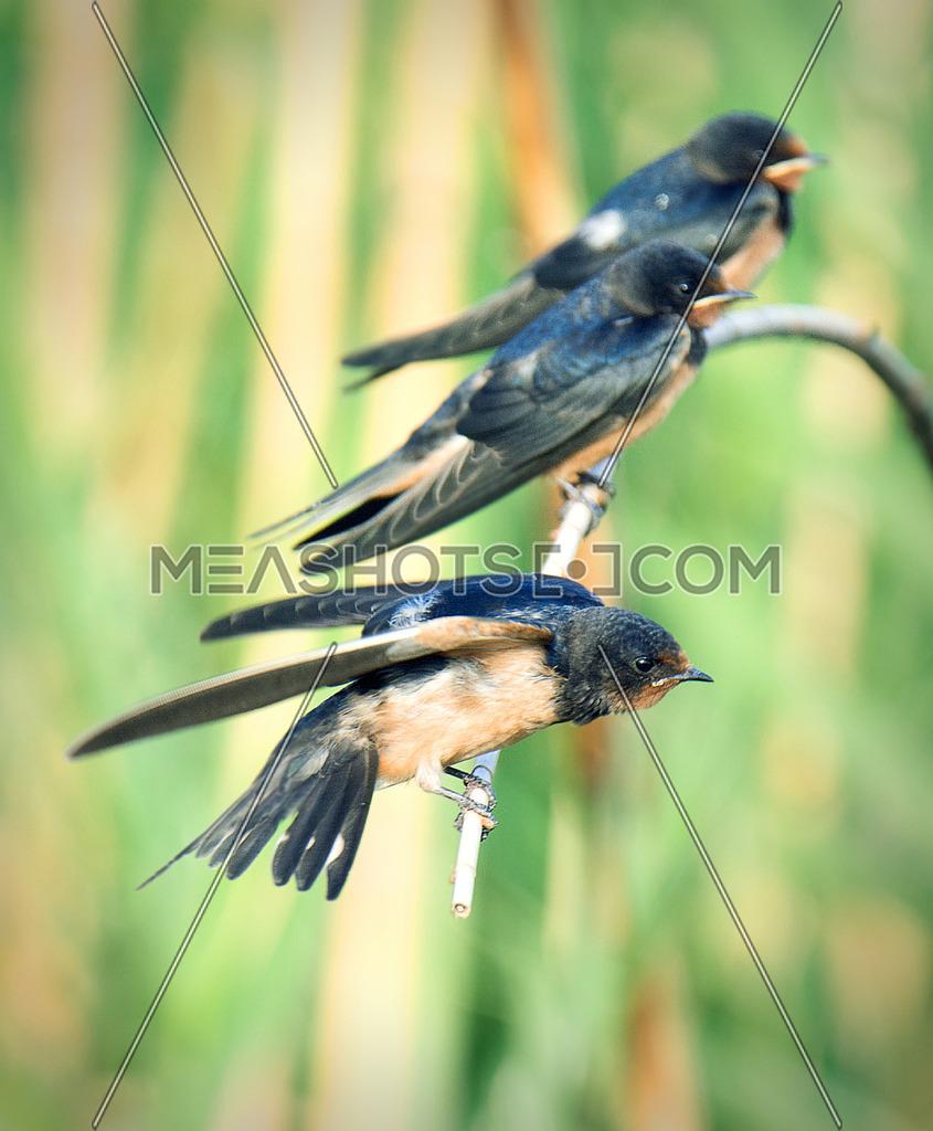 three Barn Swallows on a branch
