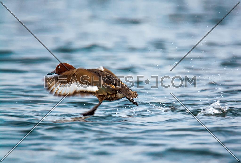 ferruginous Duck landing in water