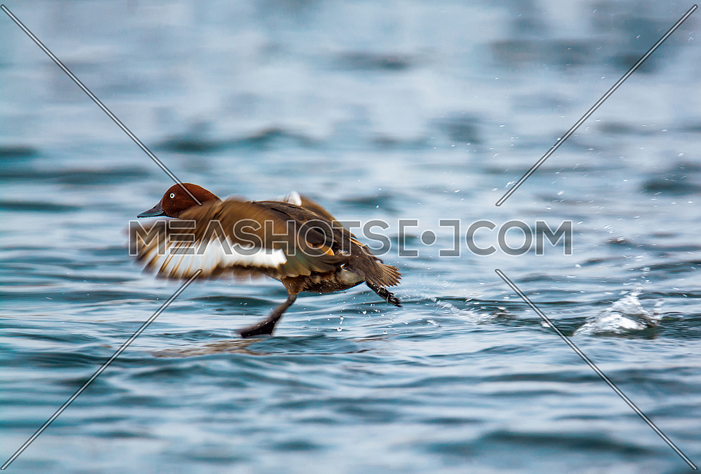 ferruginous Duck landing in water
