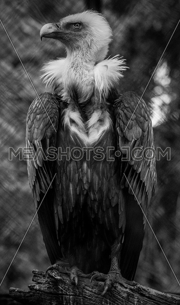a griffon vulture in black and white
