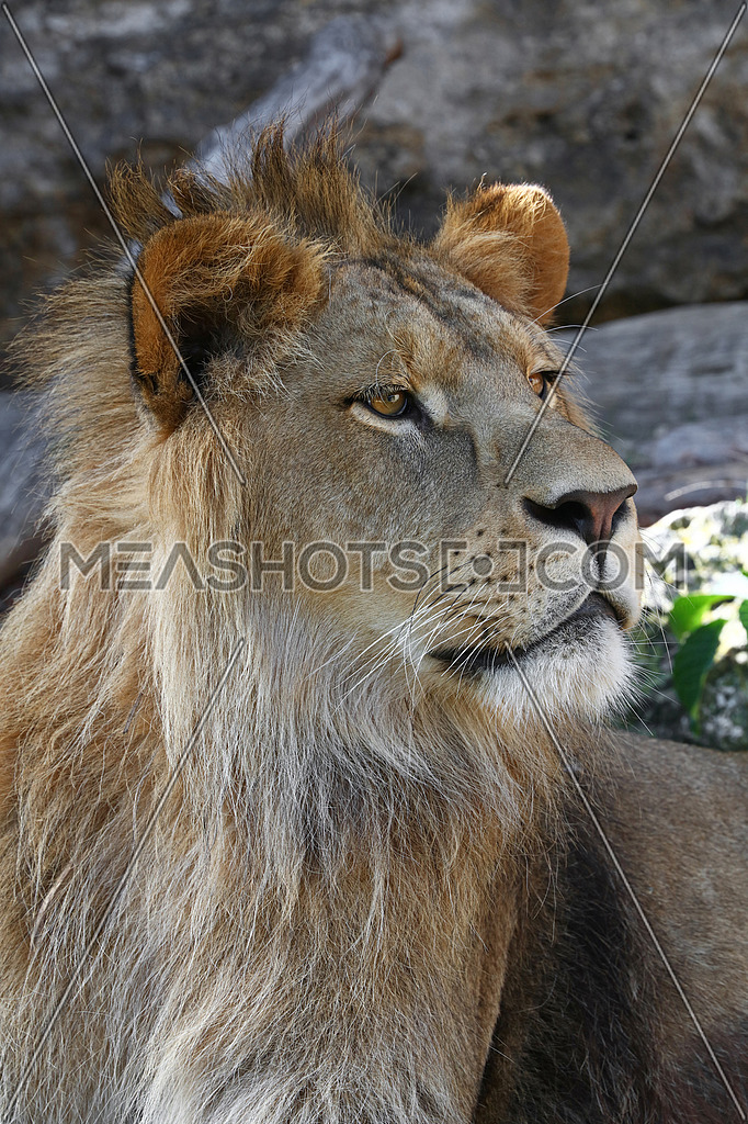 Close up side portrait of young male African lion-160340 | Meashots