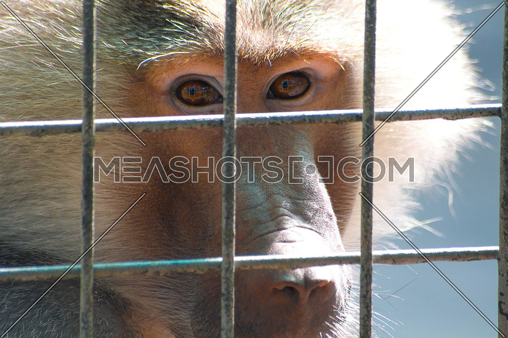 A monkey behind bars in a Dubai zoo