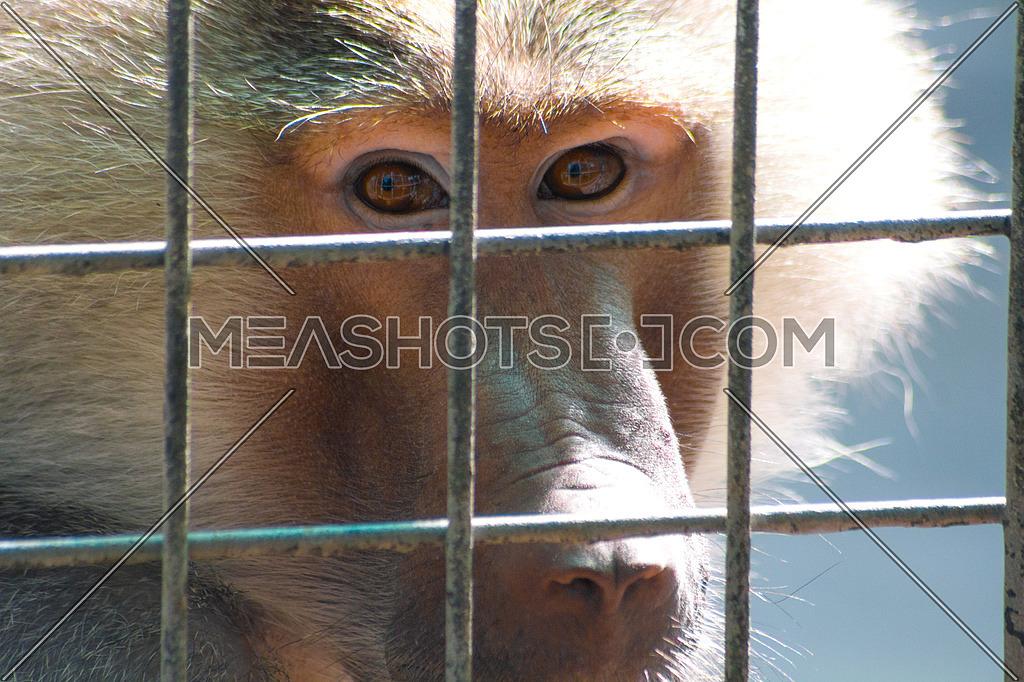 A monkey behind bars in a Dubai zoo