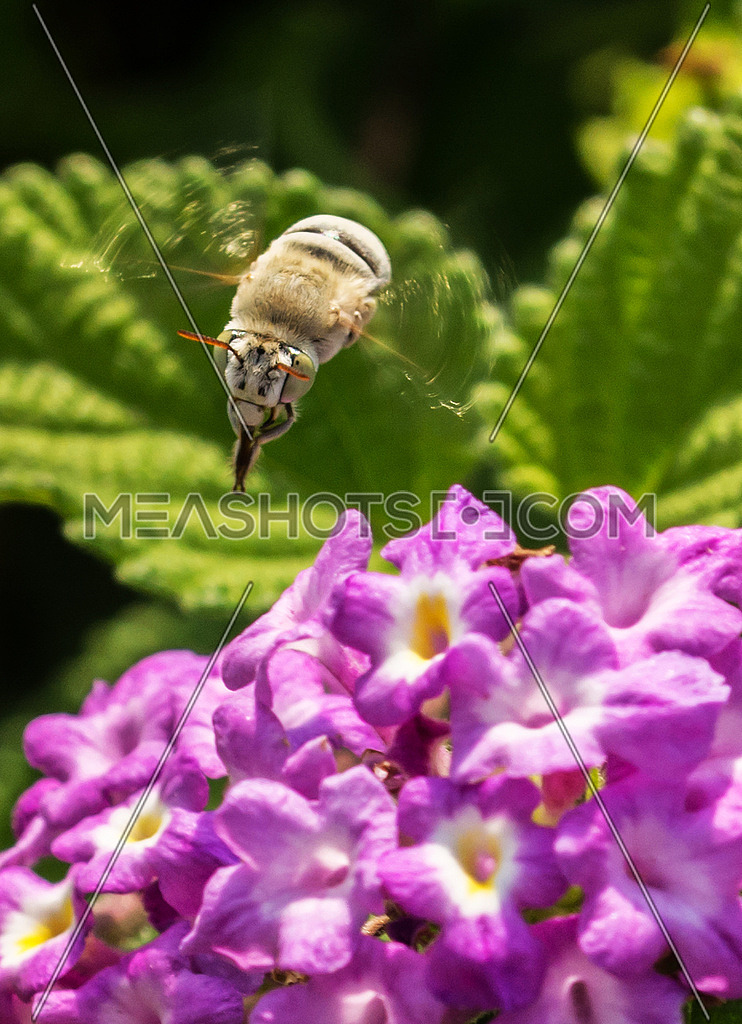 a Bee flying over purple flowers