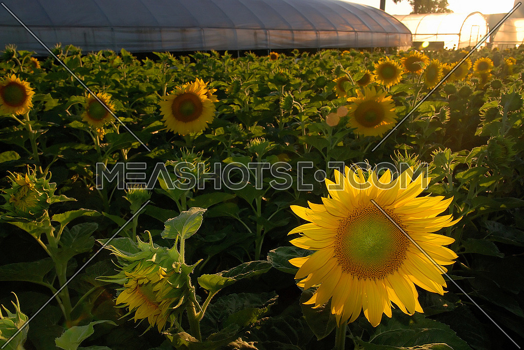 sunflowers field  (NIKON D80; 6.7.2007; 1/100 at f/8; ISO 400; white balance: Auto; focal length: 18 mm)