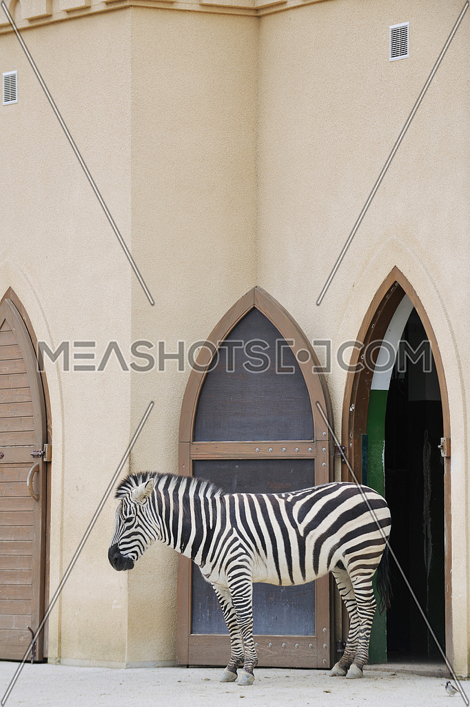 zebra wild animal in zoo