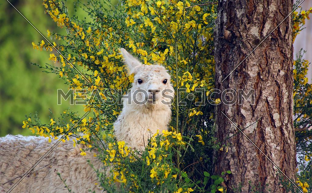 llama in a forest