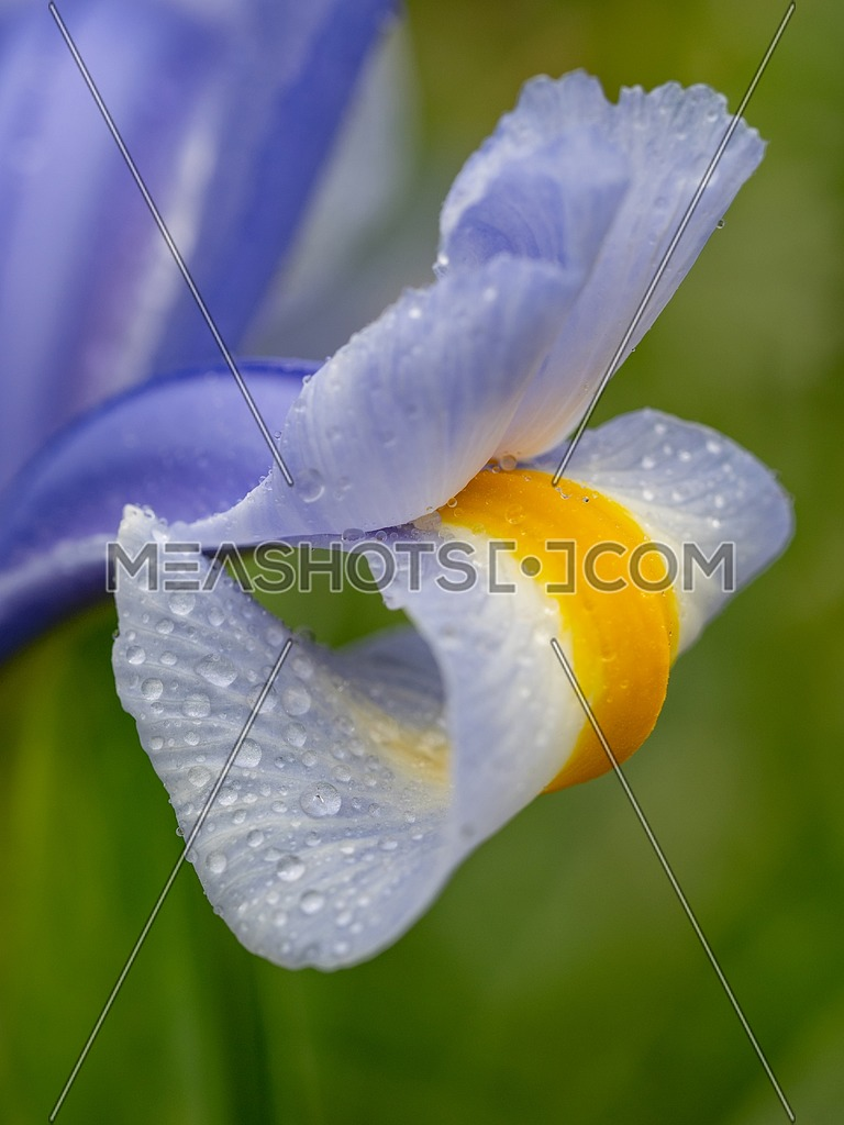 Close-up abstract image of purple iris flower(Iris douglasiana). Spring macro outdoor