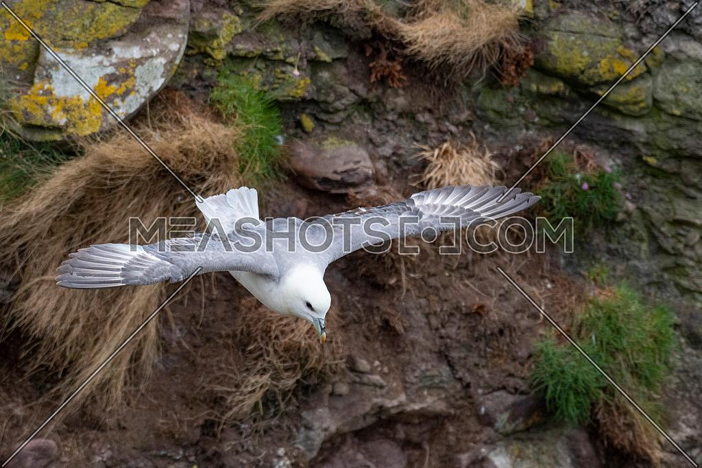 Fulmar (Fulmarus glacialis) in flight. Scotland, Great Britain