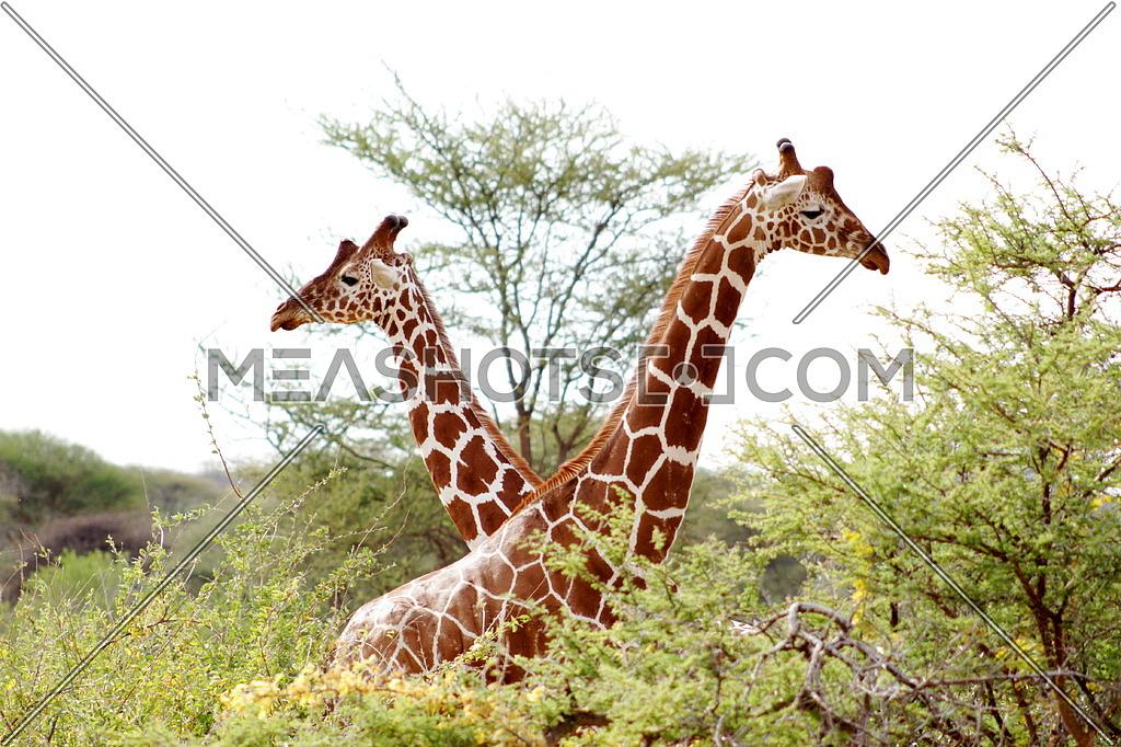 Two Giraffes in a field