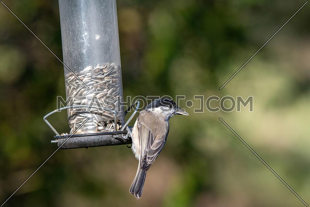 Coal tit (Periparus ater) bird sitting on bird feeder