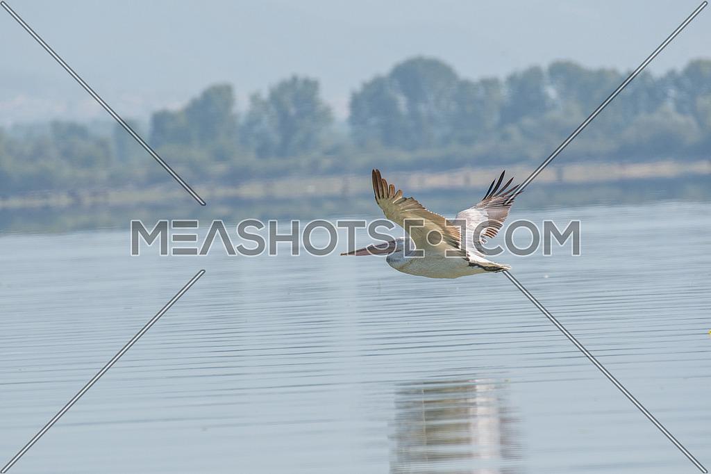 Dalmatian pelican (Pelecanus crispus) shot at lake Kerkini in Greece. Wildlife in natural habitat