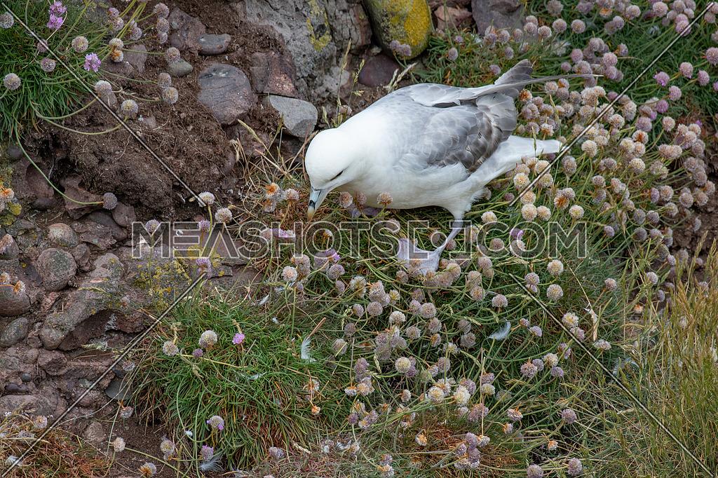 Fulmar (Fulmarus glacialis) nesting on a cliff edge