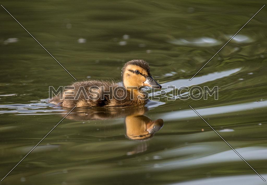 Portrait of a newborn dark duckling.This little duck is the kind of (Anas platyrhynchos) Ordinary Wild duck.