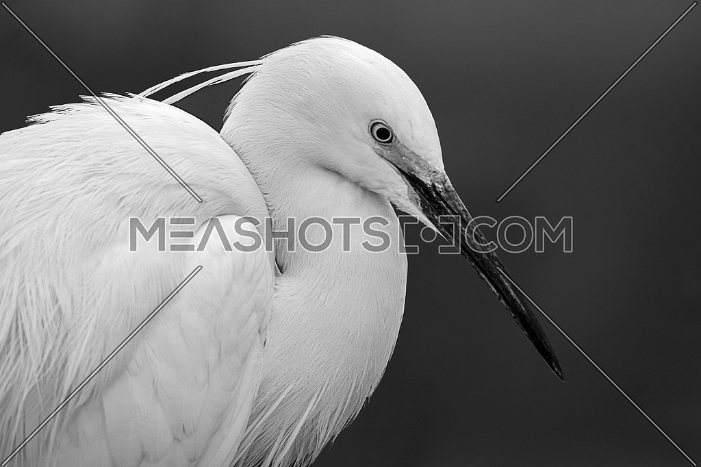 Little egret in close up