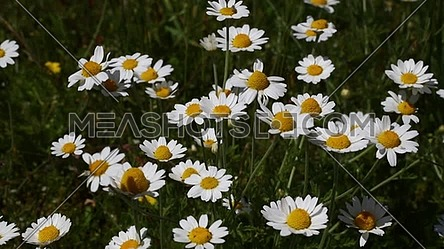 Video for close up wild white chamomile daisy matricaria flowers video for close up wild white chamomile daisy matricaria flowers shaking in the wind over dark green background high angle view meashots mightylinksfo