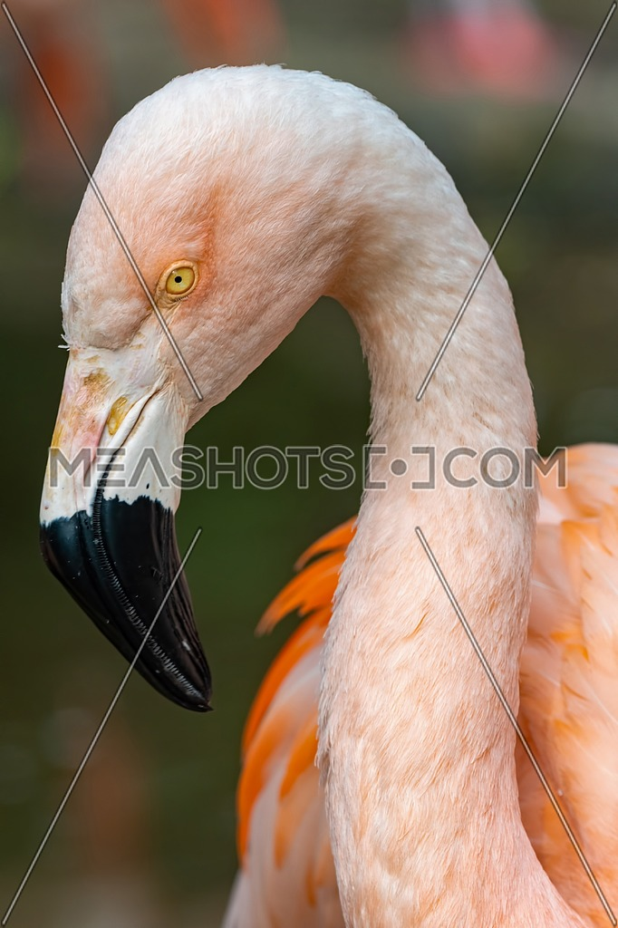 Close up of a pink Chilean flamingo (Phoenicopterus chilensis) in profile