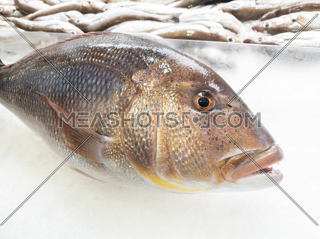 A big dentex in a fish market on ice. Common dentex (Dentex dentex).