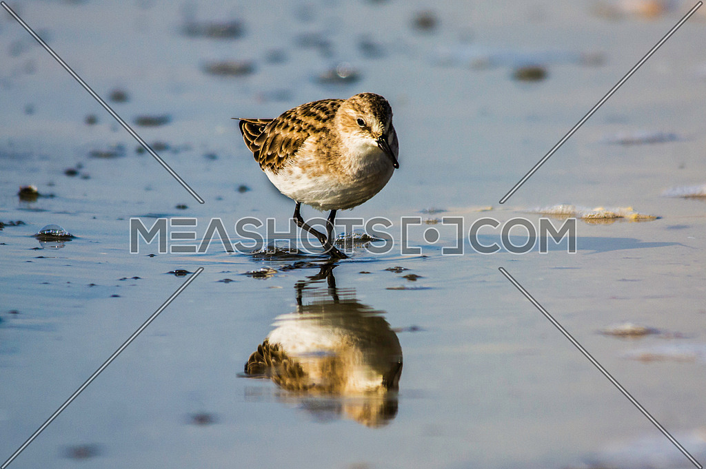 a little stint walking on the shore