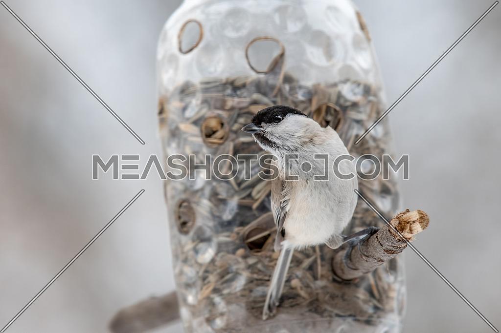 Close up picture of Coal tit (Periparus ater) in natural habitat