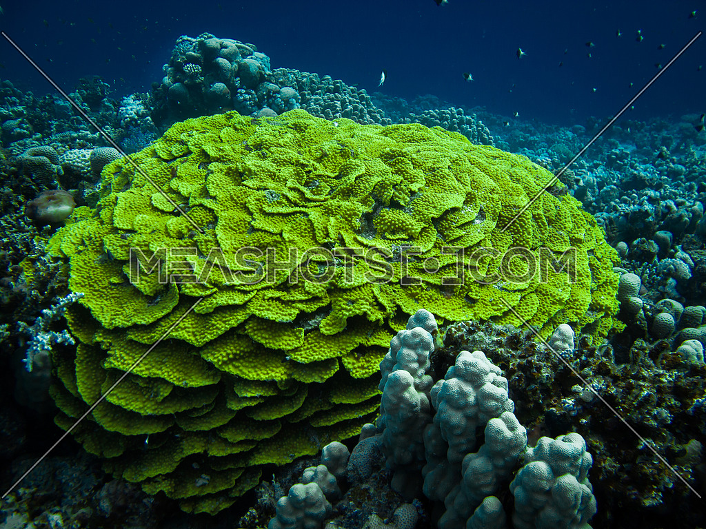 A formation of green coral reef in tropical water