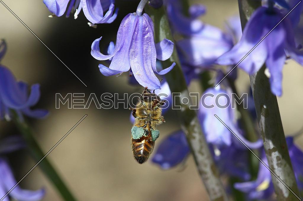 Honeybee hanging from little purple flowers carrying hearts of blue honeybee hanging from little purple flowers carrying hearts of blue pollen mightylinksfo