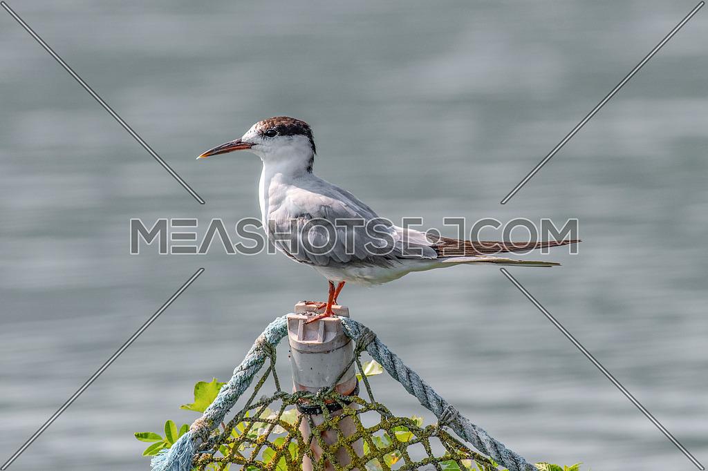 Close up portrait of Common tern (sterna hirundo) in Danube Delta Romania