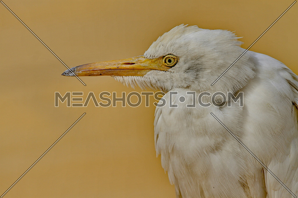 Close up of a common Egyptian Cattle egret
