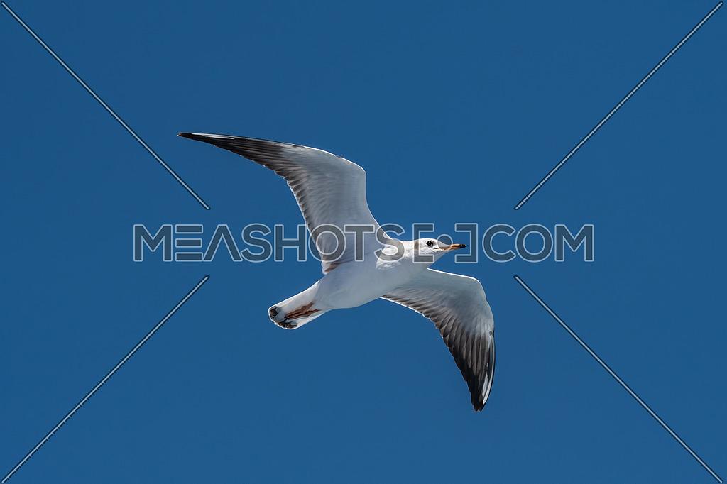 Portrait of Audouin's Gull - Ichthyaetus audouinii in flight