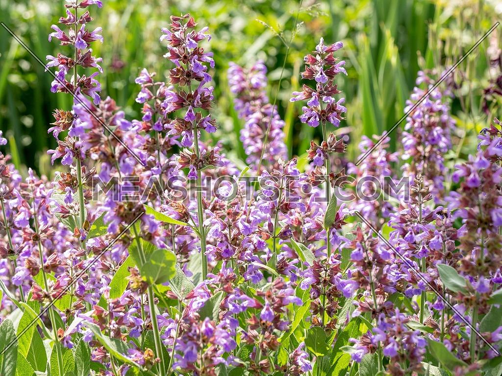 Salvia officinalis (Sage also called Garden sage or Common sage) is a perennial evergreen subshrub.