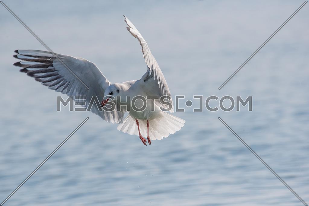 Detailed portrait of natural flying black-headed gull ( Larus ridibundus)