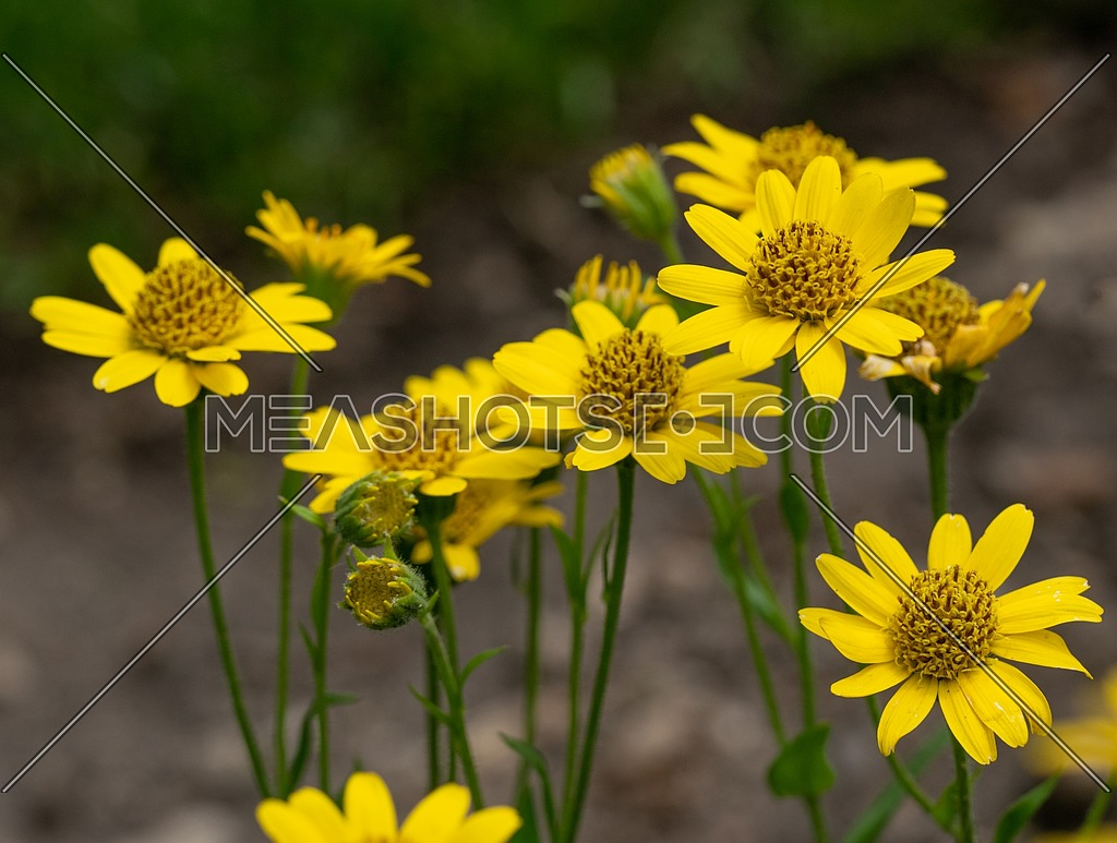 Close up of Arnica Montana flower in the dolomites** Note: Shallow depth of field