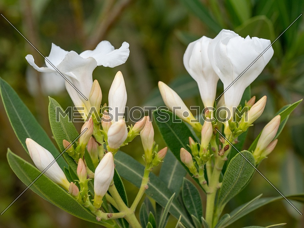 Blooming White Oleander flowers (Oleander Nerium) close up. Selective focus.