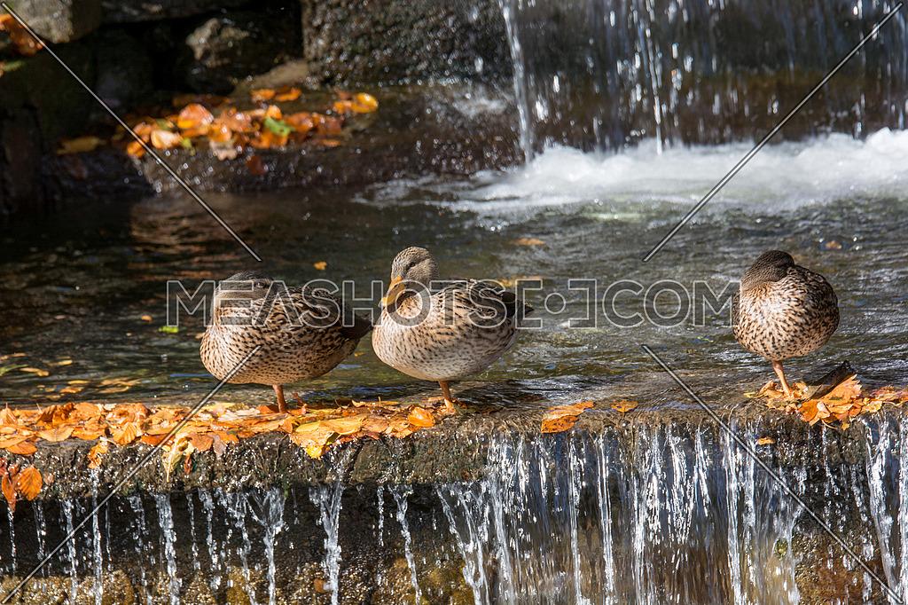 Three Female Mallard duck, mallard, eurasian wild duck, Anas platyrhynchos