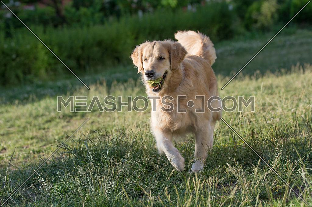 Golden retriever running Selective focus on the dog