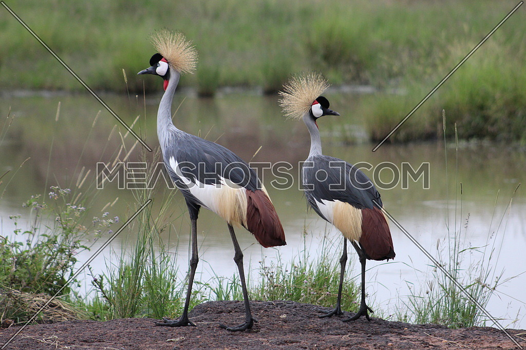 Twin Crested Cranes