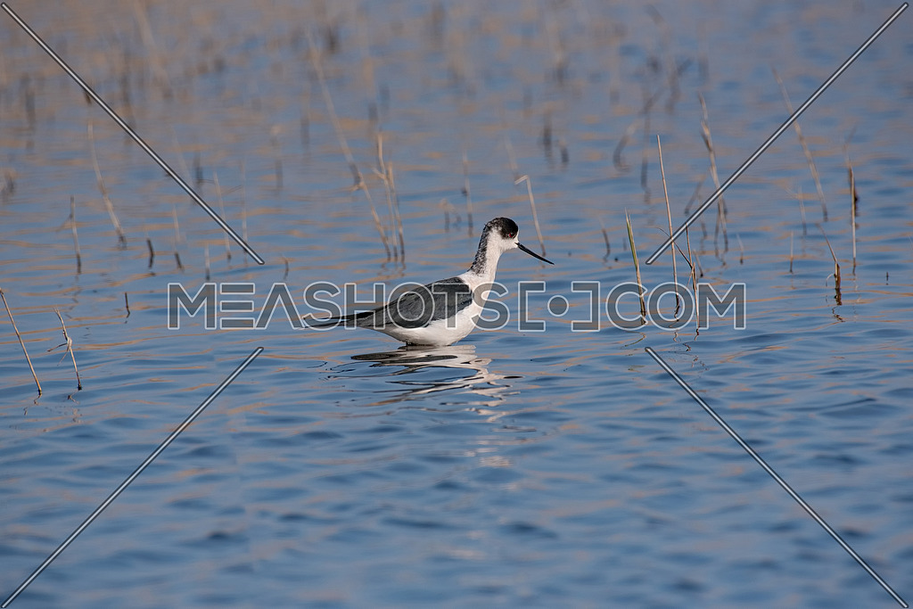 The Black-winged Stilt Common Stilt or Pied Stilt (Himantopus himantopus) is a widely distributed, very long-legged wader in the avocet and stilt family
