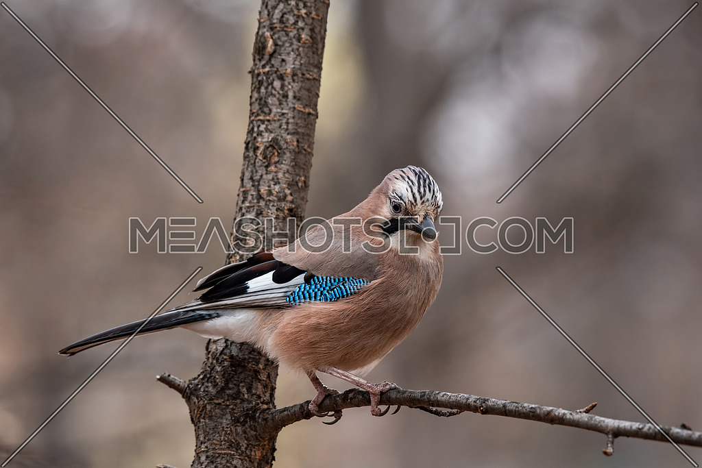 Closeup of a beautiful Eurasian Jay - Garrulus glandarius with bright colorful feathers sitting on a tree