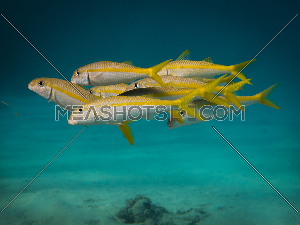 A school of yellow tail goat fish in crystal clear water