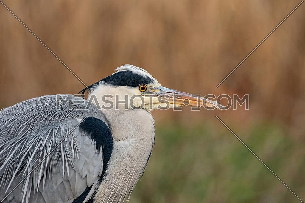 Portrait of Grey Heron (Ardea cinerea) Wildlife in natural habitat
