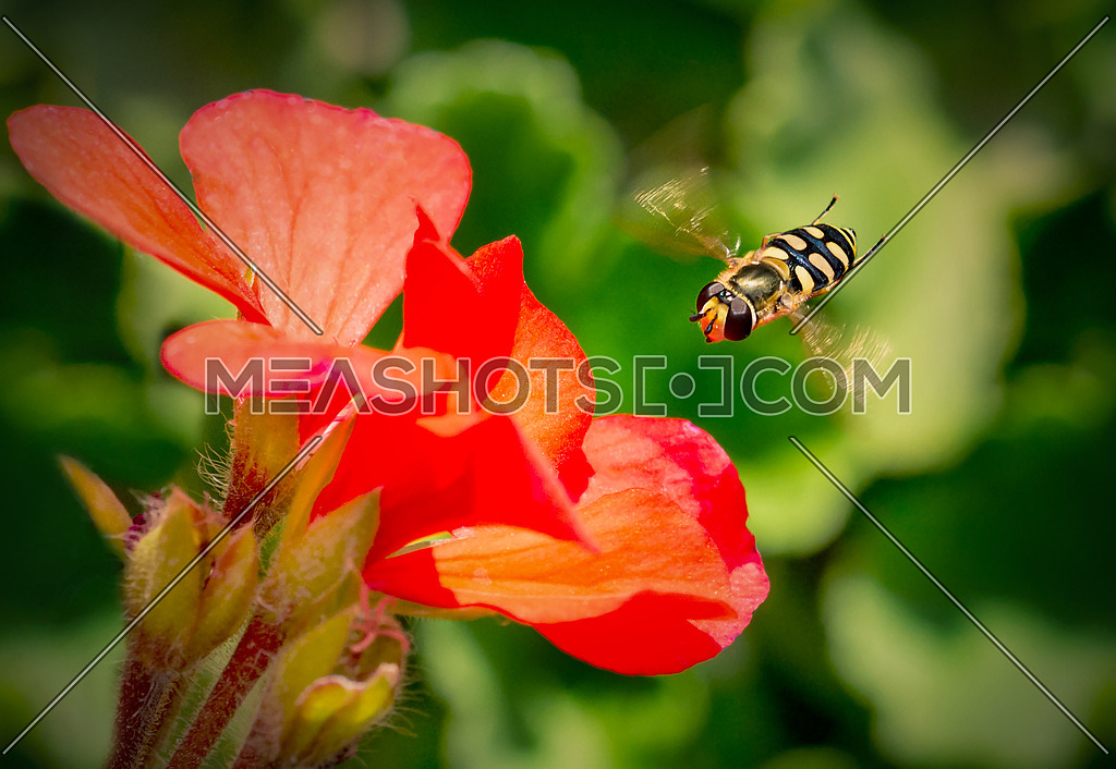a bee HoverFly over a red flower