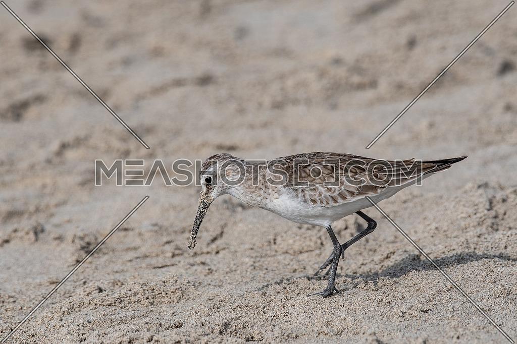 Curlew Sandpiper - Calidris ferruginea during migration in Europe