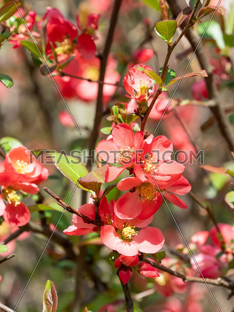Red Chaenomeles japonica flowers on the brunch. Shallow depth of field, selective focus