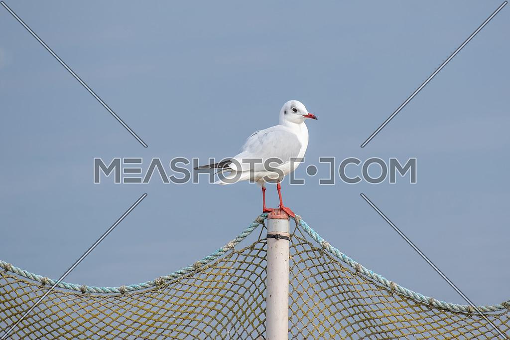 Black-headed gull - Chroicocephalus ridibundus. Wildlife in natural habitat