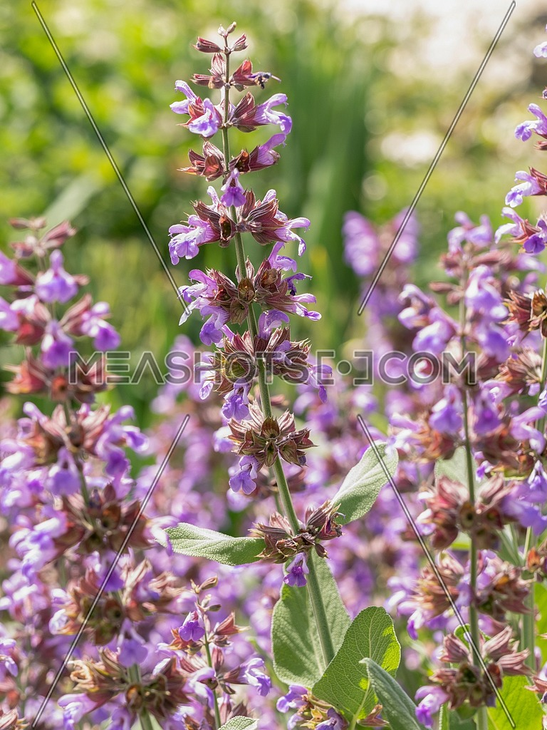 Salvia officinalis (Sage also called Garden sage or Common sage) is a perennial evergreen subshrub.